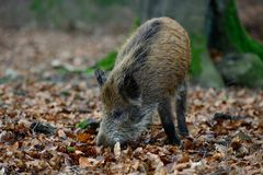 Young wild boar in the forest. Sus scrofa Royalty Free Stock Images
