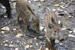 Young wild boar. In the forrest Royalty Free Stock Photos