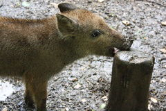 Young wild boar Royalty Free Stock Images