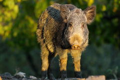 Young wild boar in a glade Stock Photos