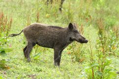 Young wild boar Stock Image