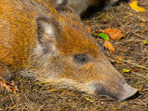 Young wild boar. Head of lying young wild boar in a forest Royalty Free Stock Image