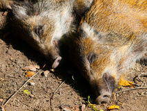 Young wild boar. Head of lying young wild boar in a forest Stock Photos