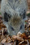 Young wild boar head portrait, autumn. Sus scrofa Royalty Free Stock Images