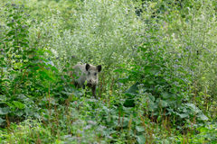 Young wild boar hiding behind buches Royalty Free Stock Photos