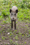 Young wild boar looking Stock Photos