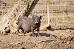 Young wild boar looking nosy. Cute young wild boar looking nosy Stock Photos
