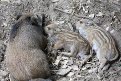 Young wild boar with mother Stock Images