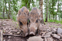Young wild boar. A pair of young wild boar. Picture taken in a Hochwildpark Rheinland in Germany Stock Image