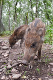 Young wild boar. A pair of young wild boar. Picture taken in a Hochwildpark Rheinland in Germany Stock Photos