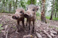 Young wild boar. A pair of young wild boar. Picture taken in a Hochwildpark Rheinland in Germany Stock Photography
