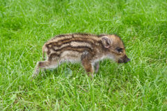 Young wild boar pig. Walking after grass Royalty Free Stock Images