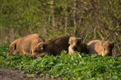Young wild boar piglets play by the road. stock photos
