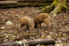 Young wild boar Royalty Free Stock Photos