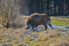 Young wild boar prowling on a frosty meadow. Young wild boar prowling over a frosty meadow in winter Stock Photography