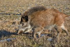 Young wild boar prowling over a meadow. Lonely young wild boar prowling over a meadow in winter Stock Photo