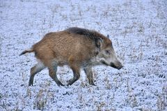 Young wild boar prowling on a snowy field. Young wild boar prowling over a snowy field in winter Stock Photography