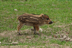 Young Wild Boar. Running in grass Stock Photos