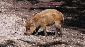 Young wild boar stock footage