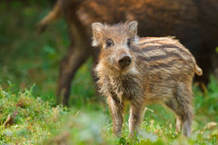 Young wild boar showing his stripes. In autumn, Bavaria Stock Photos
