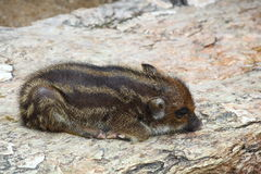 Young Wild Boar is sleeping Stock Photography
