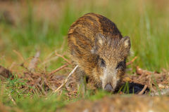 Young wild boar in spring forest. Young wild boar foraging in fallen branches in a green forest, Bavaria Royalty Free Stock Image