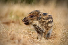 Young Wild boar, Sus scrofa, in the grass meadow. France Royalty Free Stock Images