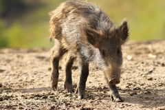 Young wild boar. ( Sus scrofa ) looking at the camera Stock Photo