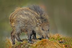 Young Wild boar, Sus scrofa, in the meadow hillock with forest in background, Czech republic, wild pig in winter. Wildlife scene f. Rom Nature Royalty Free Stock Image