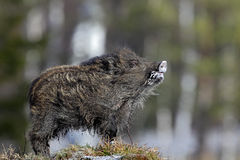 Young Wild boar, Sus scrofa, in the meadow hillock with forest in background, Czech republic, wild pig in winter Royalty Free Stock Images