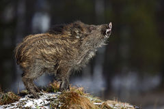 Young Wild boar, Sus scrofa, in the meadow hillock with forest in background Royalty Free Stock Photos