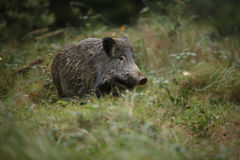 Young wild boar in thick grass. Young wild boar feeding in the long grass and shrubs Stock Photo