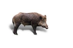 Young wild boar on white Stock Images