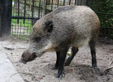 Young wild boar. The young wild boar has come out of the wood to human housing lat. Sus scrofa Royalty Free Stock Image