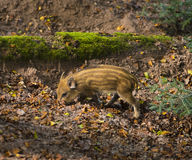 Young wild boars, Baden Baden, Germany Stock Photo