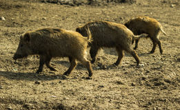 Young Wild boars Royalty Free Stock Photo