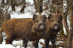 Young wild boars looking at the camera Stock Photo