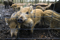 Young wild boars fence Royalty Free Stock Photo