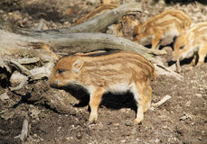 Young wild boars. Group of cute young wild pigs Sus scrofa with stripes on their fur Royalty Free Stock Photos