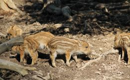 Young wild boars. Group of cute young wild pigs Sus scrofa with stripes on their fur Stock Image