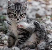 Young wild cat Royalty Free Stock Photos