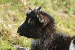 Young Wild Cheviot Goat Royalty Free Stock Image