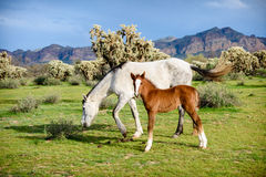 Young wild colt standing while mare grazes nearby Royalty Free Stock Photography