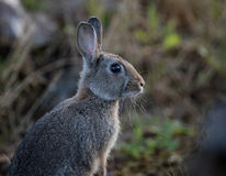 Young wild common rabbit (Oryctolagus cuniculus) Royalty Free Stock Images