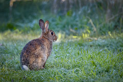 Young wild common rabbit (Oryctolagus cuniculus) sitting and alet Stock Images