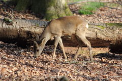 Young wild deer Royalty Free Stock Photo