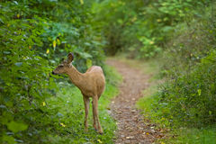 Young wild deer wooded pathway. Young wild deer standing along wooded pathway Royalty Free Stock Photos