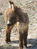 Young Wild Donkey Royalty Free Stock Photos