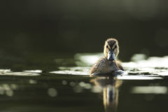Young wild duck Stock Image