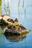 Young wild duck resting on the rock Royalty Free Stock Photo